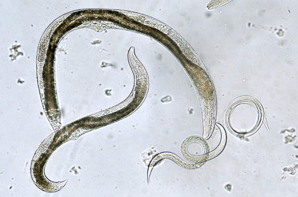 arată tipurile de viermi
