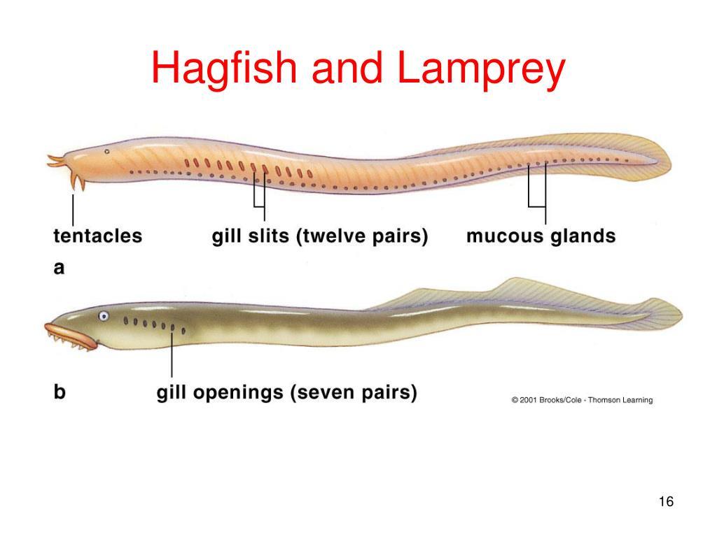 colel filthelminthes cervical