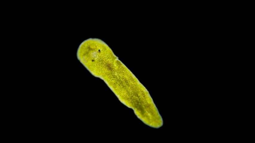 Reproducerea plathelminthes, Vierme - Wikipedia Viermi cilindrici