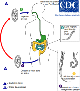 Schistosomiasis life cycle. Thesis 8 letters, Schistosomiasis life cycle