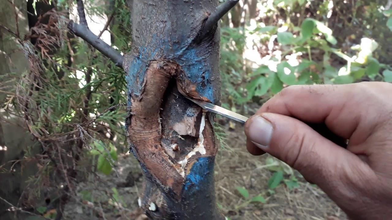 Agricultura Ecologica: Dăunătorii nucului