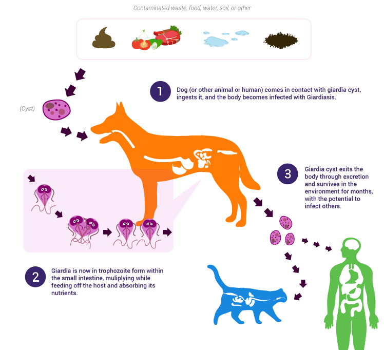 Moduri de giardiază - Giardia en perros zoonosis