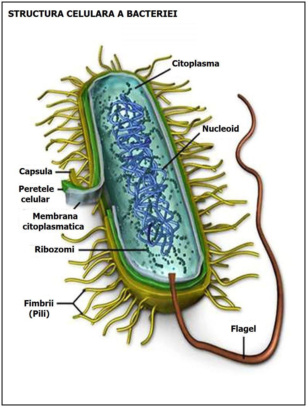 Ultima soluție în lupta cu o bacterie dificilă: transplantul de fecale - DoR