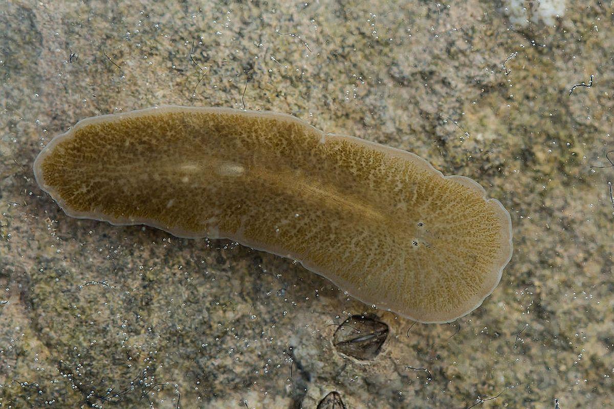 exemple de platyhelminthes parazit