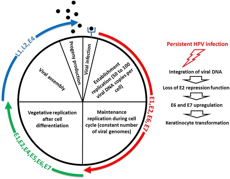 cancer de la gorge et papillomavirus viermele se mișcă