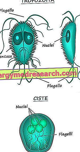 vărsături de giardioză medicina natural para parasitos oxiuros