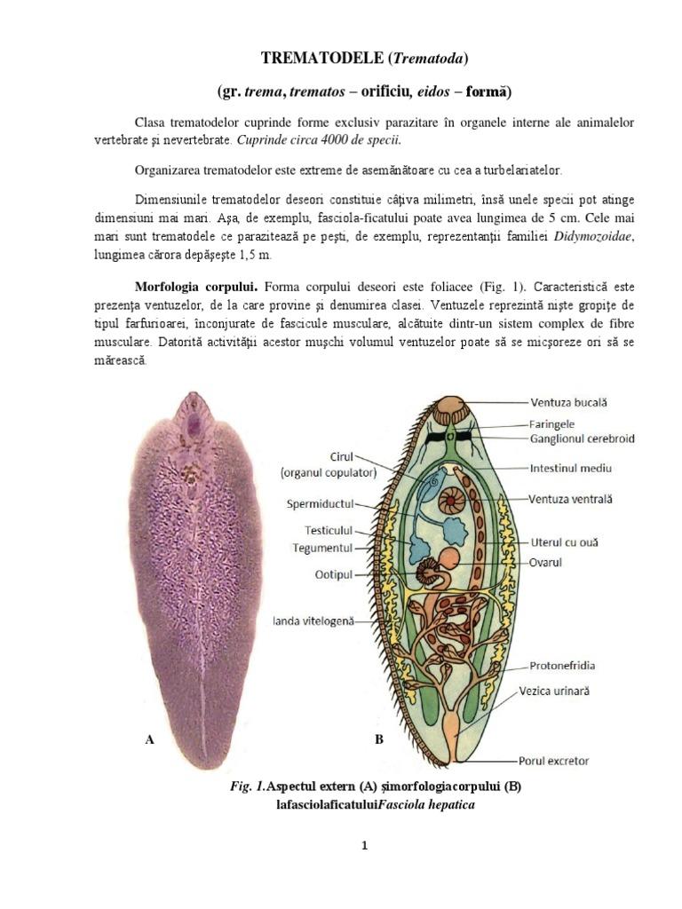 ciclul dezvoltării trematodului și a viermilor