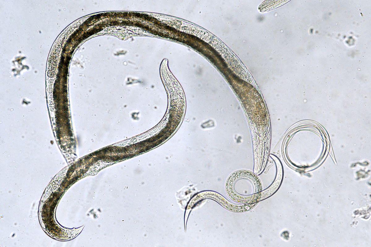 Medicamente cu vierme rotunde, Vierme rotunde: poluare și tratament