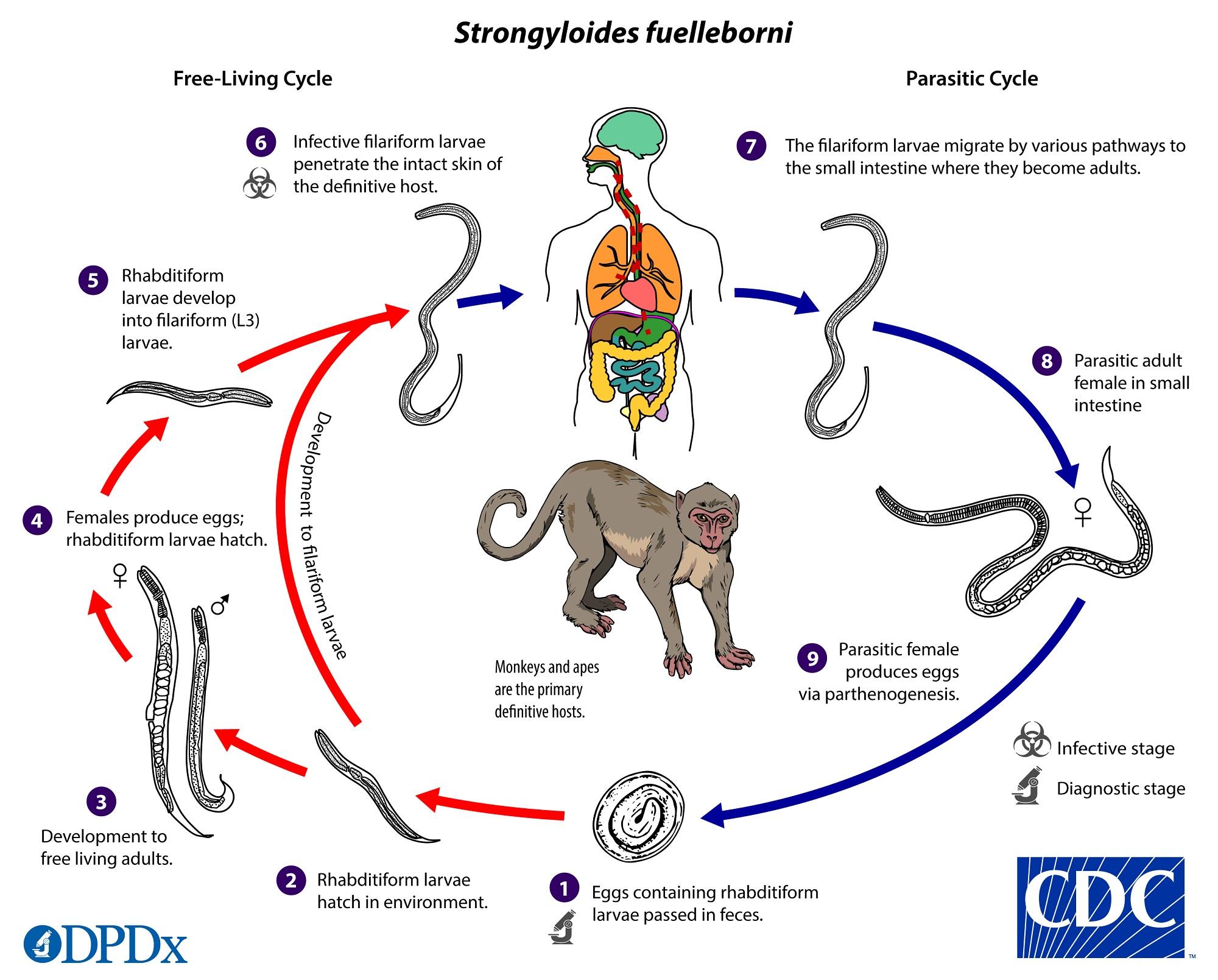 nemathelminteze nevertebrate zoologice cum se vindecă condiloamele îndepărtate