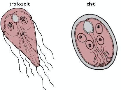 simptome protozoare de giardia pata giardia giemsa