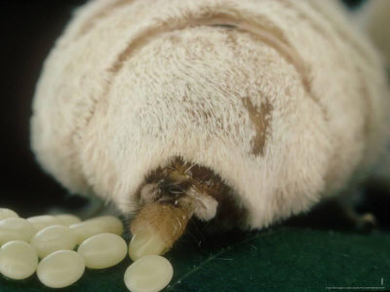 dimensiunea oului de vierme condilom pe pielea feței