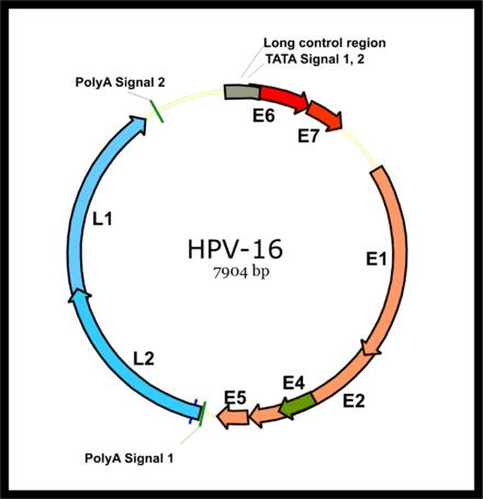 virusul oncogen papilom