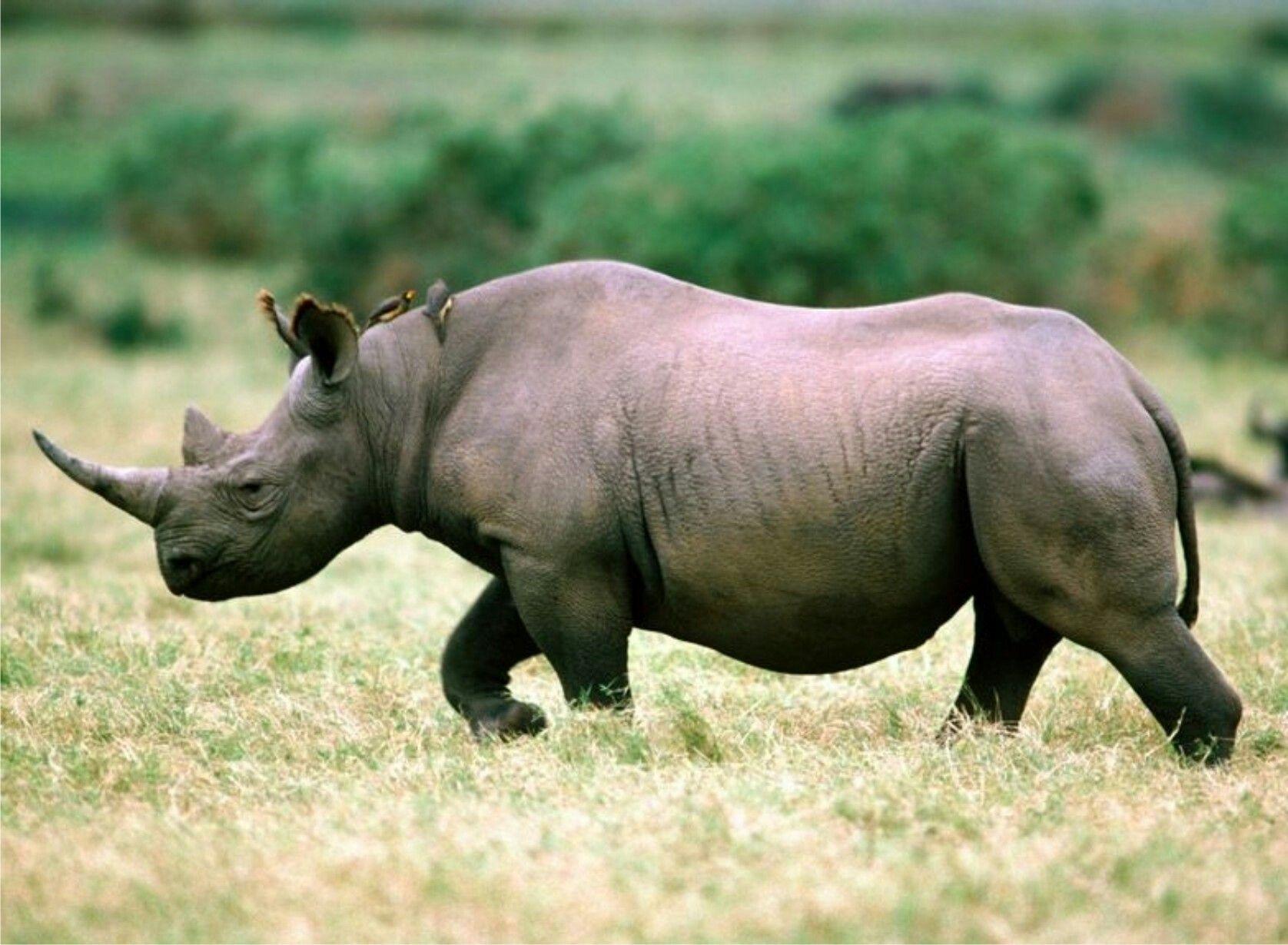 rinocer la oameni