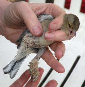 bird with papillomavirus papiloma kaliningrad