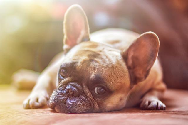 Limbrici la câini: simptome de infecție, diagnostic și tratament