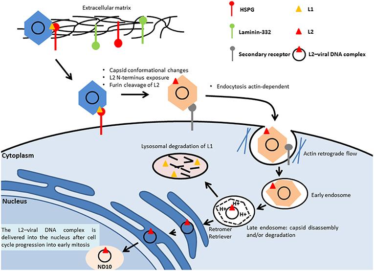 hpv viral genome medicamente pentru paraziti la fiere
