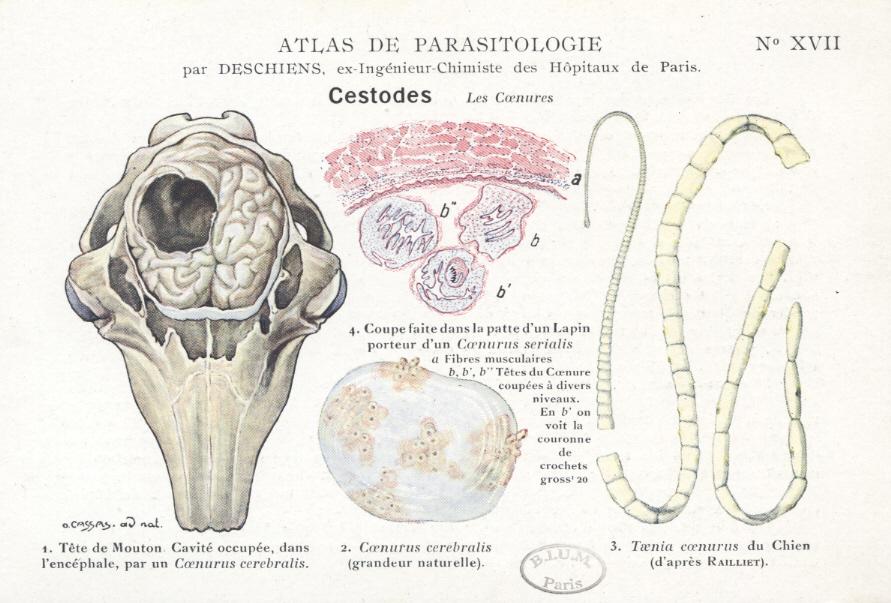 Versiunea de vierme,