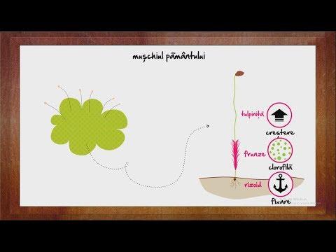 Viermii intestinali Paraziți în mușchii umani, simptome și tratament