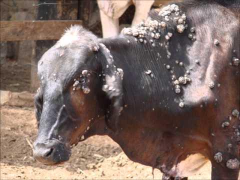 Papilomatosis bovina epidemiologia. Que es papilomatosis bovina