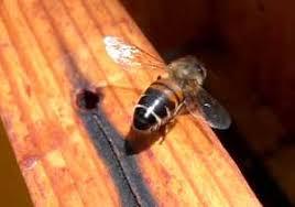 Varroa la albine. Identificarea parazitului în stup și tratamente recomandate
