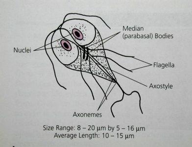 denumirea viermilor din cromozomii umani papilom pe glandă