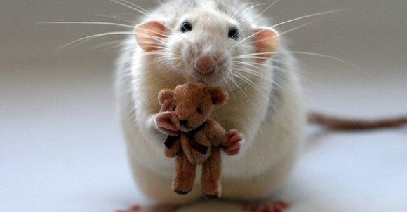 dezvoltare cu șobolan