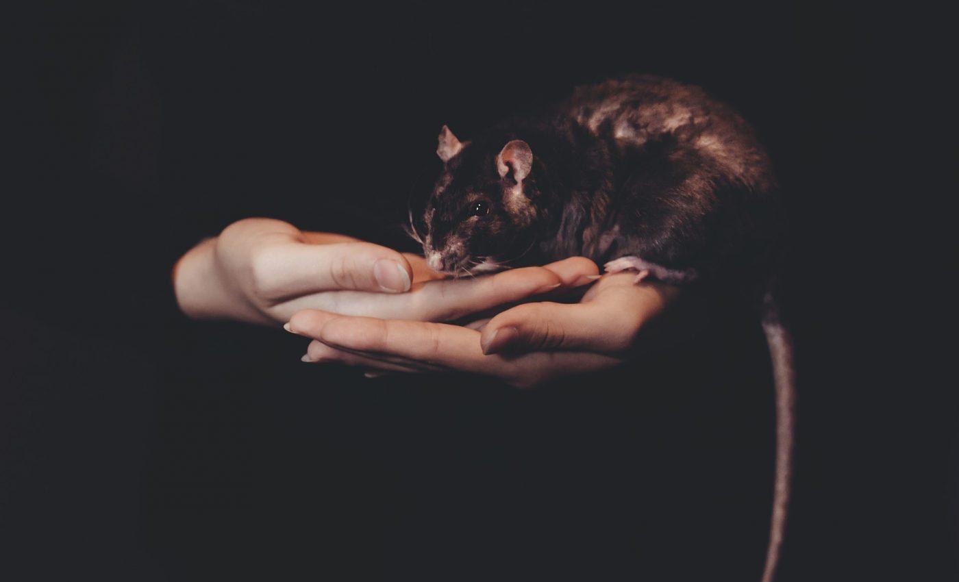 șobolan și - Traducere în franceză - exemple în română | Reverso Context