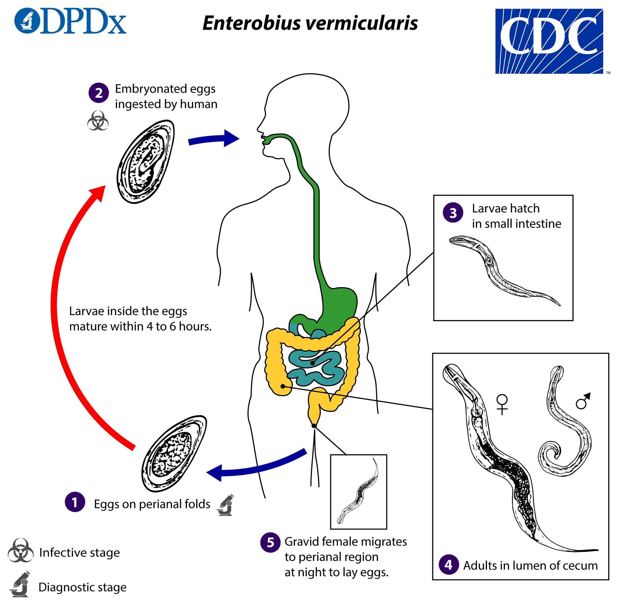 Ciclul de viață al pinworms. Enterobiasis cdc Pinworm infectarea la copii