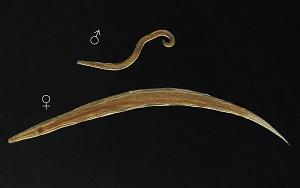 Enterobius Vermicularis (Oxiuris vermicularis) – csrb.ro