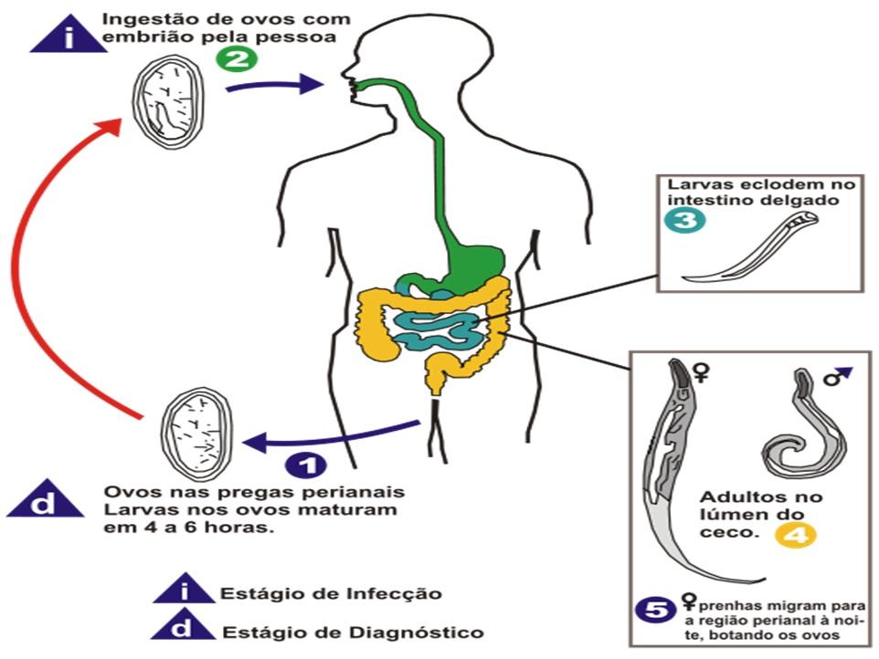 Enterobius vermicularis treatment dose. - Numite pastile pinworm