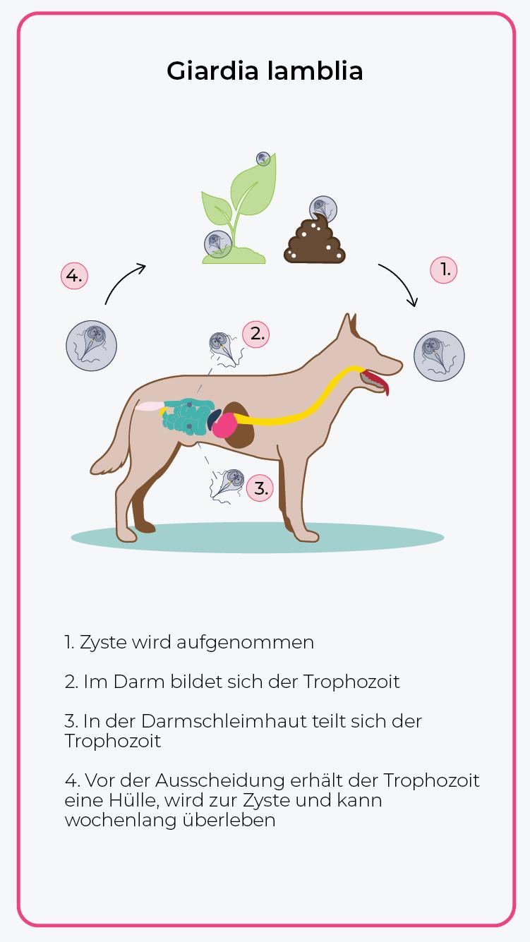 Infecție giardien mensch behandlung Oxiuros tratamiento en ingles