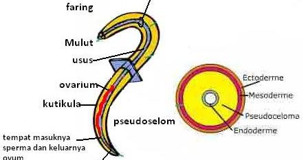 nemathelminthes peran yang merugikan helminth worms phylum