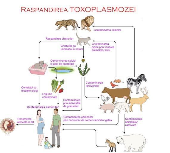 analiza toxoplasma in sarcina