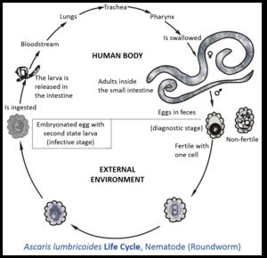 ciclu de dezvoltare umană pinworms tratamentul verucilor genitale la bărbați în anus