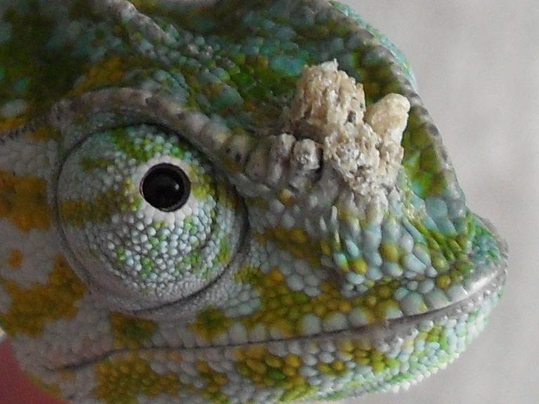 papillomavirus in chameleons nutrește cum să l îndepărtezi