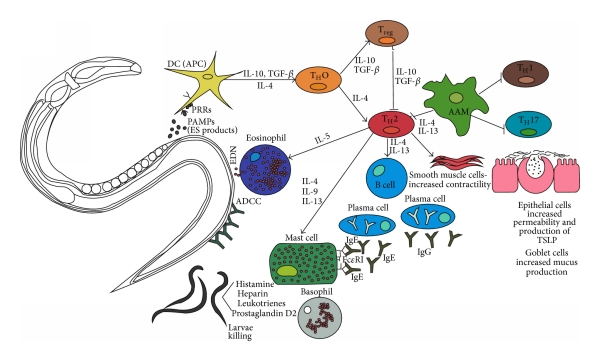 Cuticula cu vierme rotunde, Cum arată un vierme rotund? 💫 Portal Multimedia Științific Și Popular.