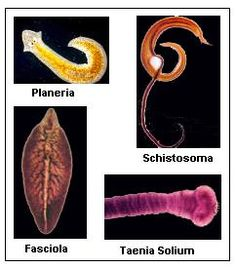 Tapeworms articles - Encyclopedia of Life