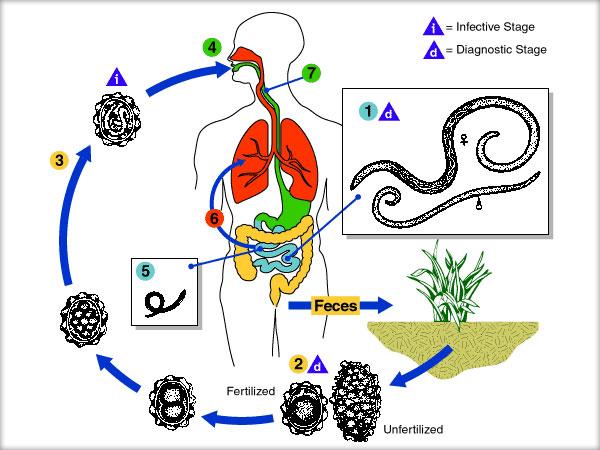 diferențele dintre saprofite și paraziți tratament cu antibiotice pentru papiloame