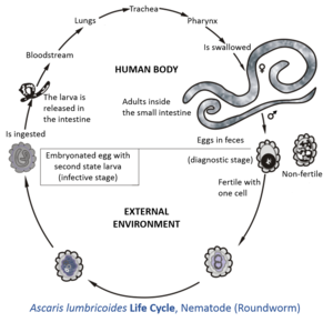 diagnosticul viermilor