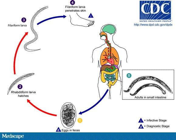 diagrama ciclului de dezvoltare pinworms