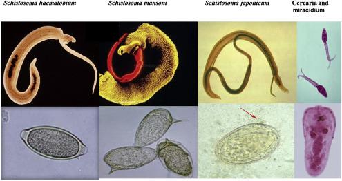 schistosomiasis worm size