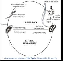 Enterobius vermicularis pathogenesis. Autoimmune urticaria