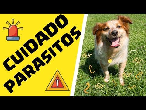 oxiuros tratamiento en perros