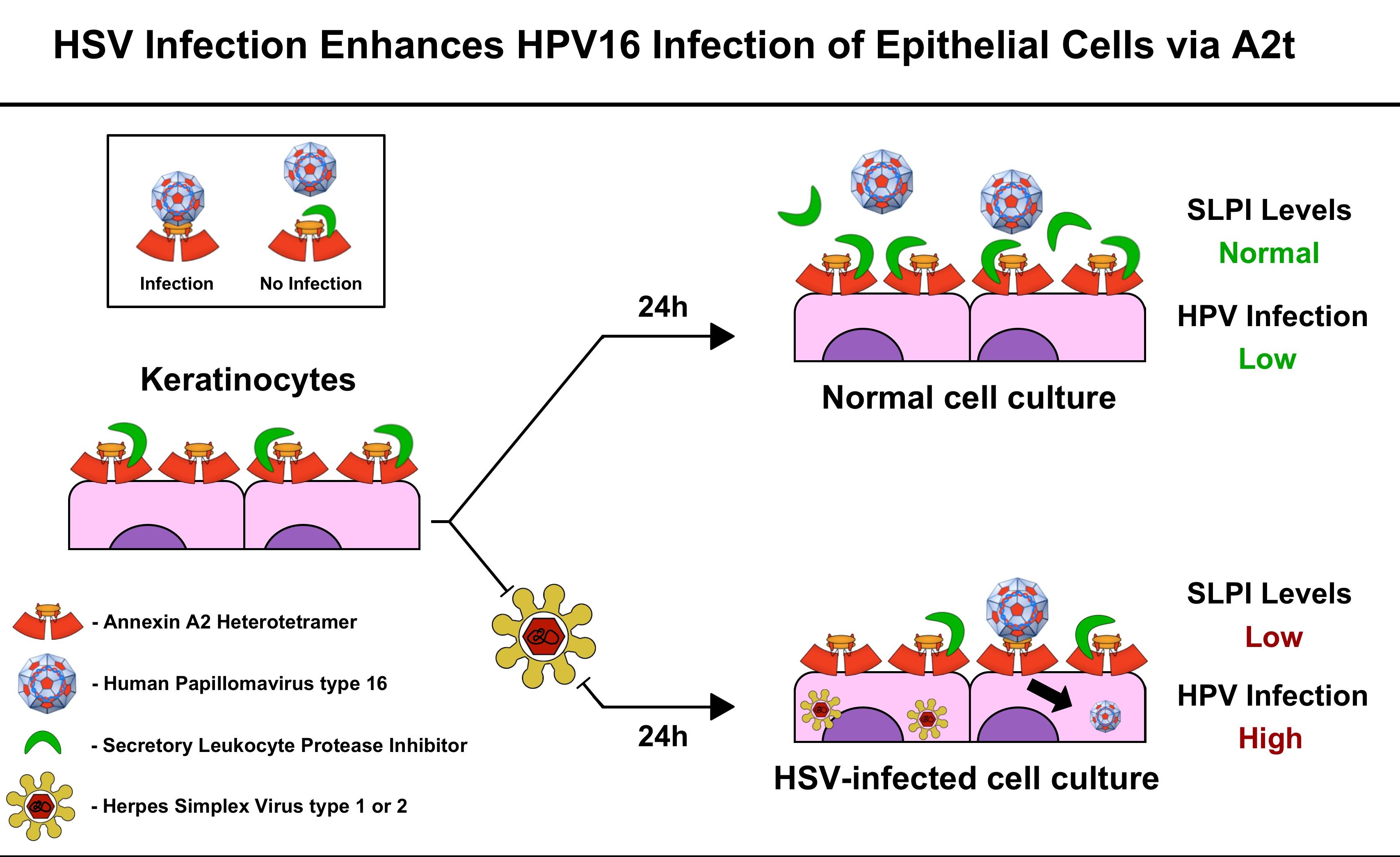 herpes virus human papillomavirus papillon zeugma aile odas