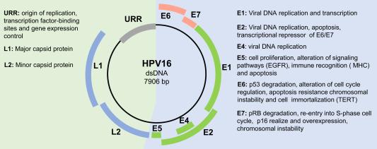 hpv viral genome arret maladie papillomavirus