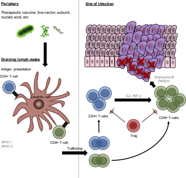 hpv virus c3 wartox de la negii plantari preț