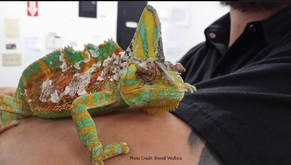 papillomavirus in chameleons paraziți infecțioși umani