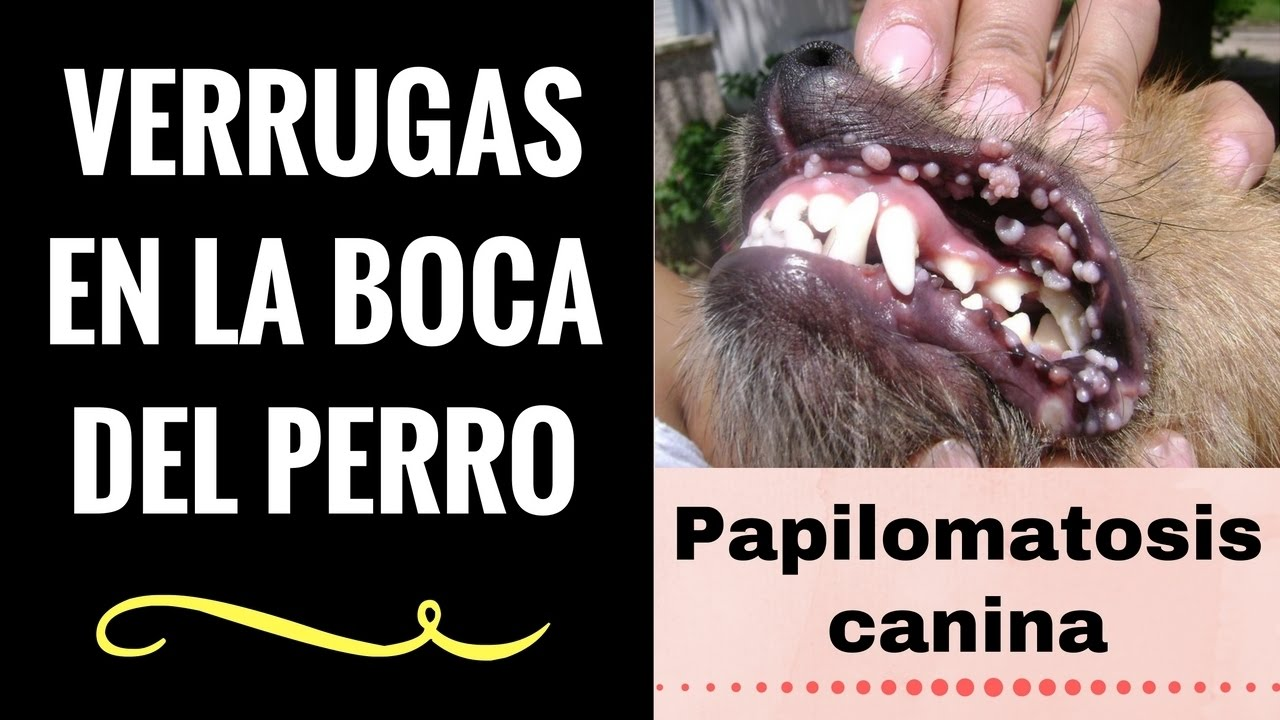 Virus del papiloma a perros. Dictionar Spaniol-roman