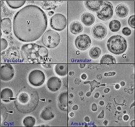 parazitele protozoare și metazoane