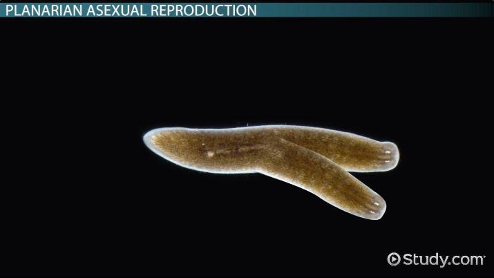 Platyhelminthes planaria - Viermi la adulți cauze și tratament